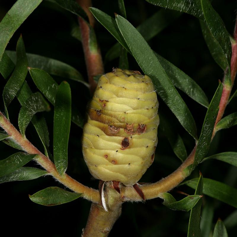 Leucadendron coniferum par Plantes de Wikimedia commons