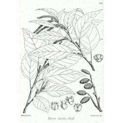 Alnus nitida de Ayacop, domaine public, via Wikimedia Commons