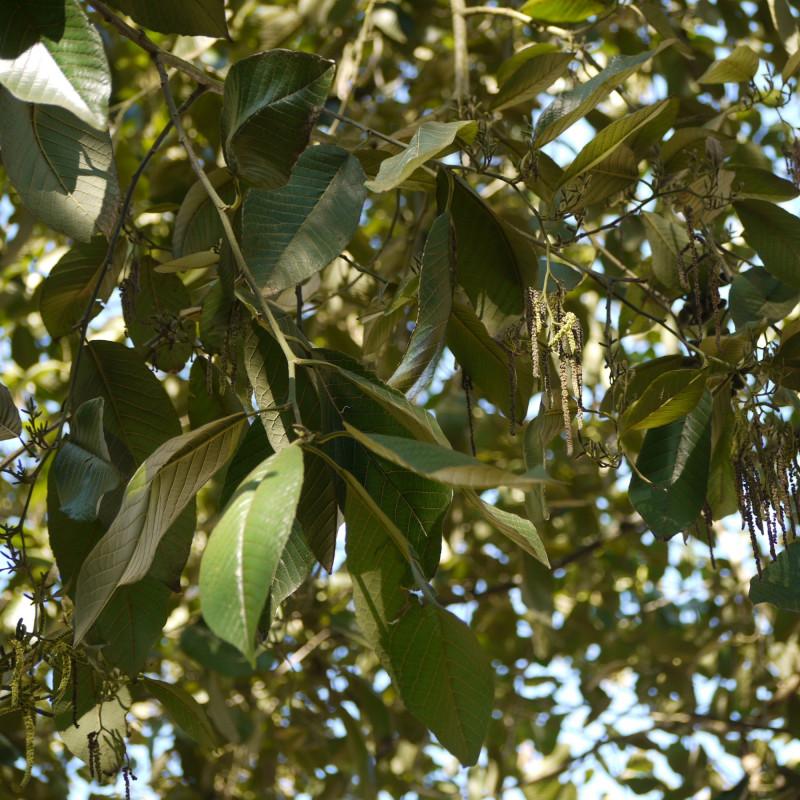 Alnus nepalensis de Dinesh Valke from Thane, India, CC BY-SA 2.0, via Wikimedia Commons