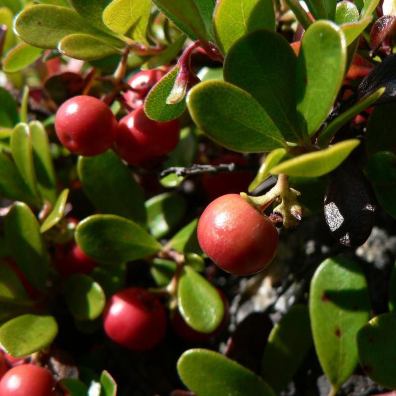 Arctostaphylos uva-ursi de Walter Siegmund, CC BY-SA 3.0, via Wikimedia Commons