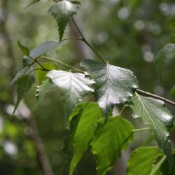 Betula platyphylla var. japonica de David J. Stang, CC BY-SA 4.0, via Wikimedia Commons