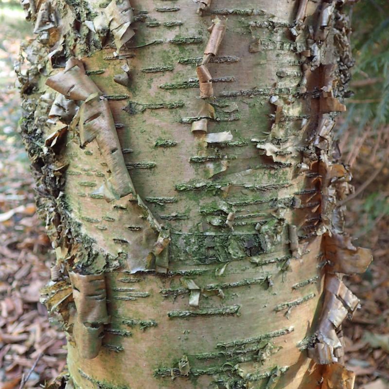 Betula alleghaniensis de Krzysztof Ziarnek, Kenraiz, CC BY-SA 4.0, via Wikimedia Commons