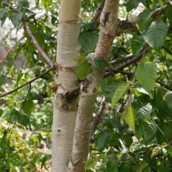Betula utilis de Dinesh Valke from Thane, India, CC BY-SA 2.0 via Wikimedia Commons