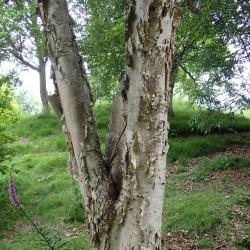 Betula ermanii de Krzysztof Ziarnek, Kenraiz, CC BY-SA 4.0, via Wikimedia Commons