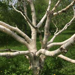 Betula ermanii de Plant Image Library from Boston, USA, CC BY-SA 2.0, via Wikimedia Commons