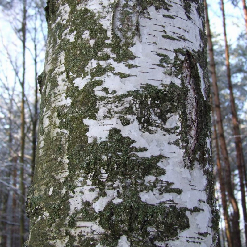 Betula pendula de Hubert Śmietanka, CC BY-SA 2.5, via Wikimedia Commons