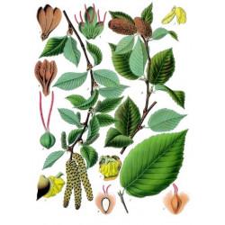 Betula lenta de Franz Eugen Köhler, Köhler's Medizinal-Pflanzen, Public domain, via Wikimedia Commons