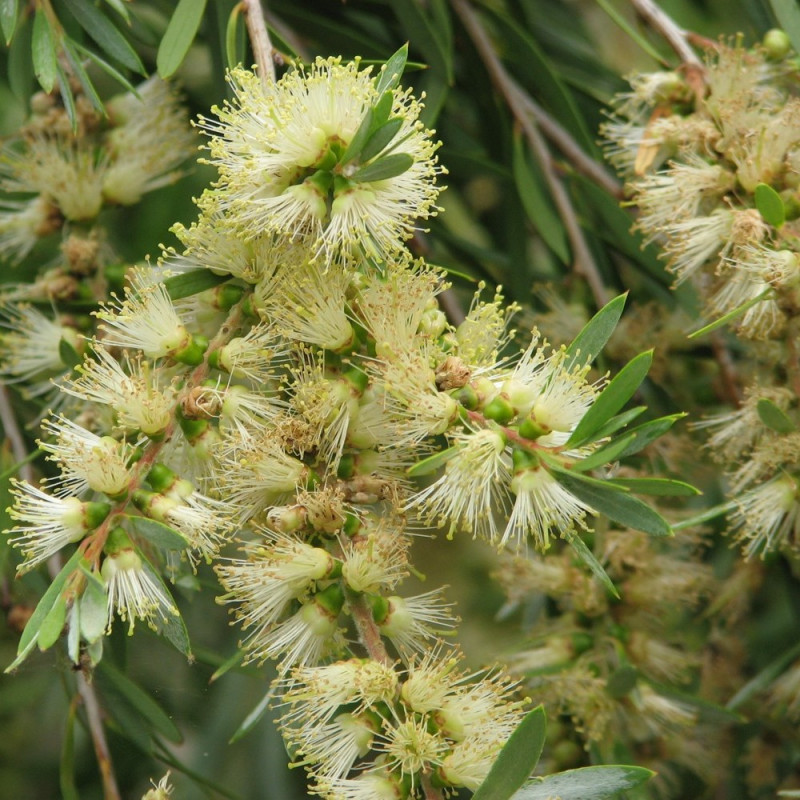 Callistemon sieberi de Melburnian, CC BY 3.0, via Wikimedia Commons
