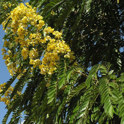 Cassia spectabilis de Dick Culbert from Gibsons, B.C., Canada, CC BY 2.0, via Wikimedia Commons