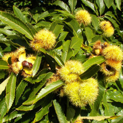 Castanea sativa de Willow, CC BY-SA 3.0, via Wikimedia Commons