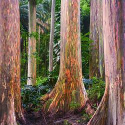 Eucalyptus deglupta par Todd Kay de Pixabay