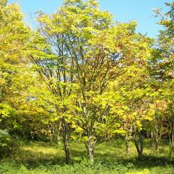 Cedrela sinensis de Willow, CC BY-SA 3.0, via Wikimedia Commons