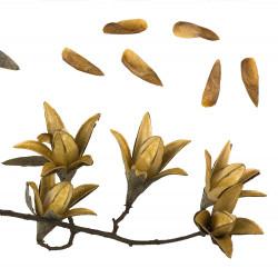 Toona sinensis du muséum de Toulouse, CC BY-SA 3.0, via Wikimedia Commons