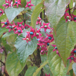 Clerodendron trichotomum de peganum from Small Dole, England, CC BY-SA 2.0, via Wikimedia Commons
