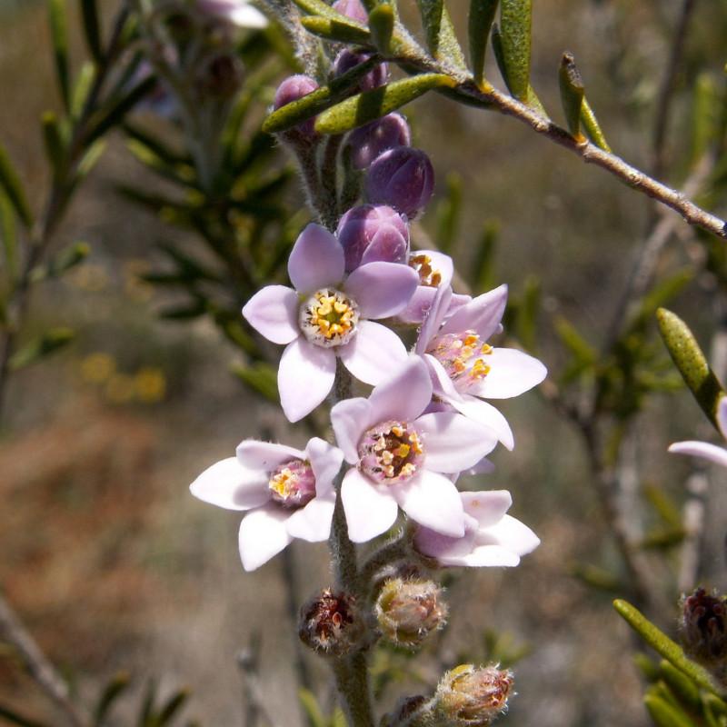 Crowea angustifolia de Geoffrey Derrin, CC BY-SA 4.0, via Wikimedia Commons