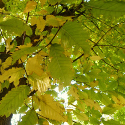 Zelkova carpinifolia de MarIJA, CC BY-SA 4.0, via Wikimedia Commons