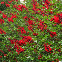 Erythrina corallodendron de lienyuan lee, CC BY 3.0, via Wikimedia Commons