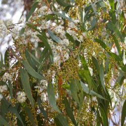 Eucalyptus racemosa de John Robert McPherson, CC BY-SA 4.0, via Wikimedia Commons