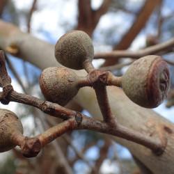 Eucalyptus youmanii de Geoff Derrin, CC BY-SA 4.0 via Wikimedia Commons