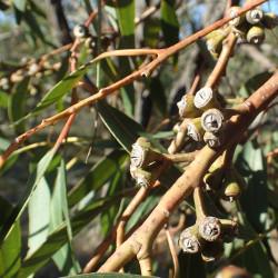 Eucalyptus resinifera de Geoff Derrin, CC BY-SA 4.0, via Wikimedia Commons