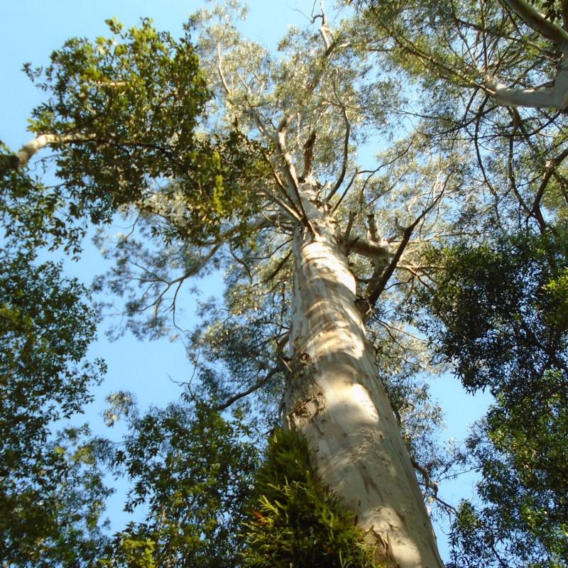 Eucalyptus regnans de Pimlico27, CC BY-SA 4.0 via Wikimedia Commons