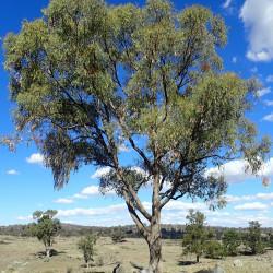 Eucalyptus nova-anglica de Geoff Derrin, CC BY-SA 4.0, via Wikimedia Commons