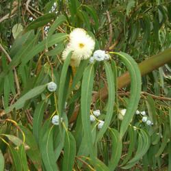 Eucalyptus globulus par Forest et Kim Starr de Wikimedia commons