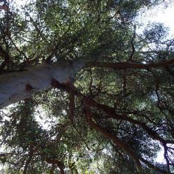 Eucalyptus johnstonii de Krzysztof Ziarnek, Kenraiz, CC BY-SA 4.0, via Wikimedia Commons