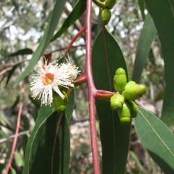 Eucalyptus goniocalyx de Forest & Kim Starr, CC BY 3.0 US, via Wikimedia Commons
