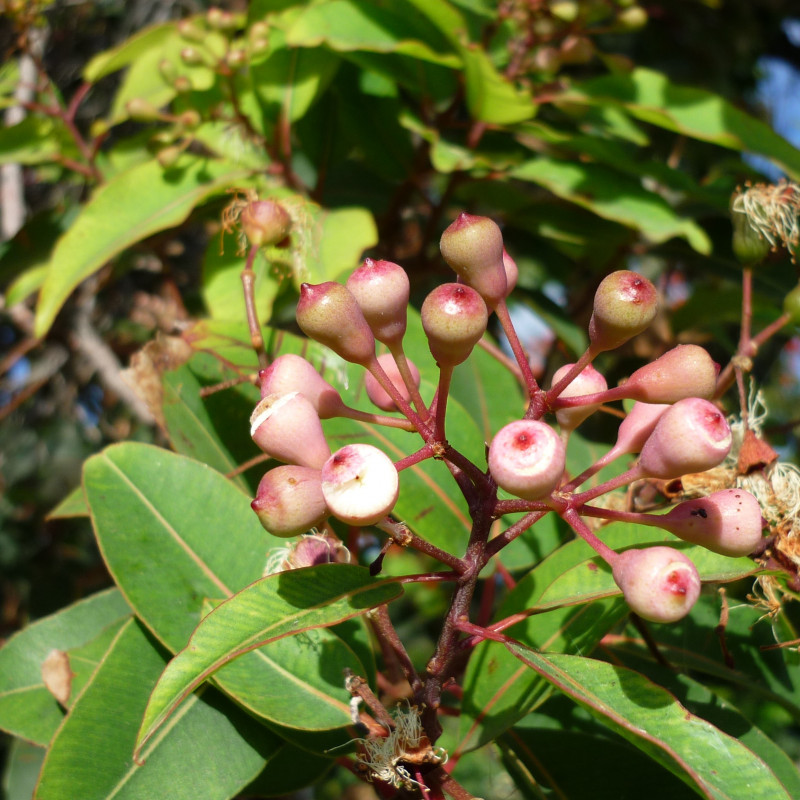 Eucalyptus calophylla de Jesús Cabrera from Sevilla, Spain, CC BY 2.0, via Wikimedia Commons