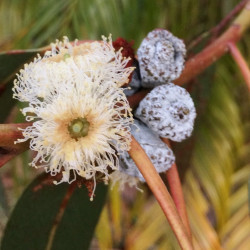 Eucalyptus bicostata de Geekstreet, CC BY-SA 4.0, via Wikimedia Commons