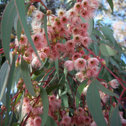 Eucalyptus torquata de EugeneZelenko., CC BY-SA 4.0, via Wikimedia Commons