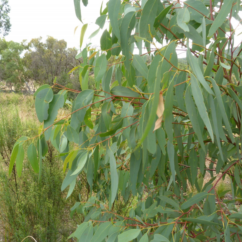 Eucalyptus rossii de Donald Hobern from Copenhagen, Denmark, CC BY 2.0, via Wikimedia Commons
