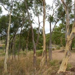 Eucalyptus rossii de Donald Hobern from Copenhagen, Denmark, CC BY 2.0 via Wikimedia Commons