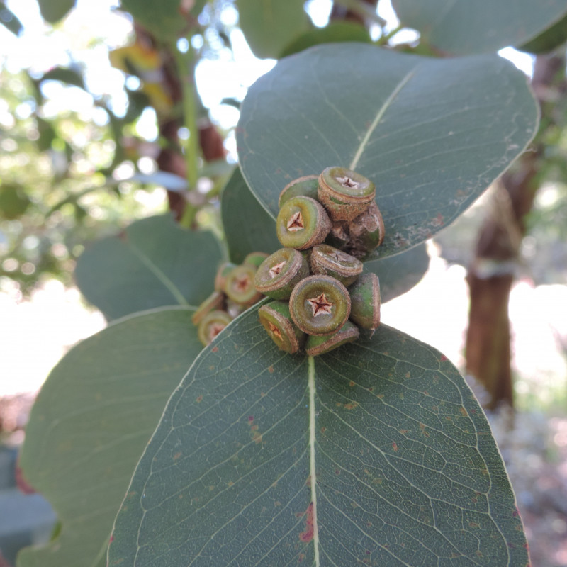 Eucalyptus kybeanensis de Krzysztof Ziarnek, Kenraiz, CC BY-SA 4.0, via Wikimedia Commons