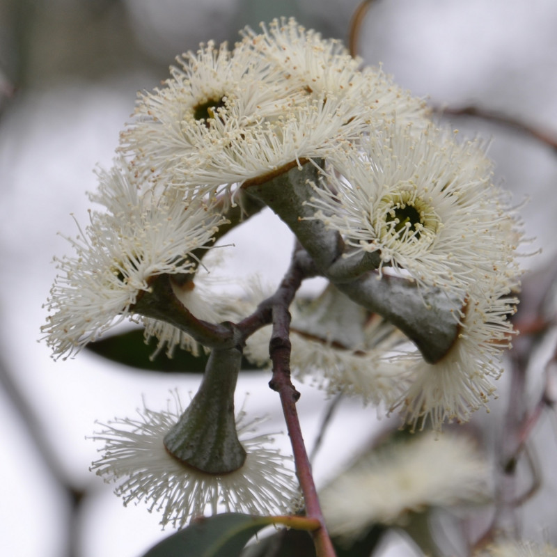 Eucalyptus coccifera de Jean-Michel Moullec, CC BY 2.0, via Wikimedia Commons