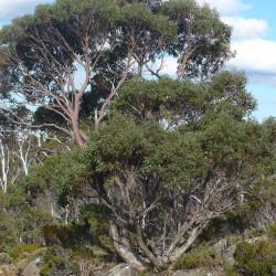 Eucalyptus coccifera de Proteaceous, CC BY-SA 3.0, via Wikimedia Commons