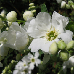 Exochorda racemosa de Nadiatalent, CC BY-SA 3.0, via Wikimedia Commons