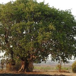 Ficus benghalensis de Dr. Raju Kasambe, CC BY-SA 4.0, via Wikimedia Commons