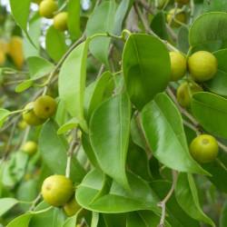 Ficus benjamina de Demukher2408, CC BY-SA 4.0, via Wikimedia Commons