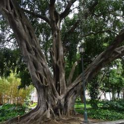 Ficus benjamina de ChristianeB, CC BY-SA 4.0, via Wikimedia Commons