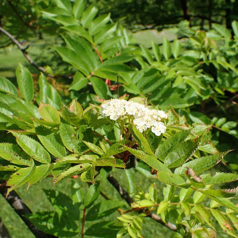 Sorbus commixta var wilfordii par Krzysztof Ziarnek, Kenraiz de Wikimedia commons