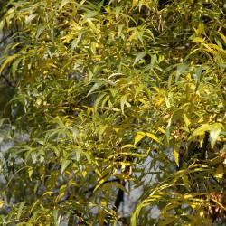 Fraxinus angustifolia de Wouter Hagens, Public domain, via Wikimedia Commons