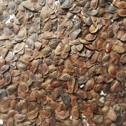Graines de Exochorda racemosa - Semences du Puy