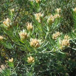 Teline linifolia de Ximenex, CC BY-SA 2.1 ES, via Wikimedia Commons