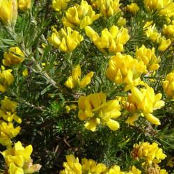 Teline linifolia de Xemenendura, CC BY-SA 2.1 ES, via Wikimedia Commons