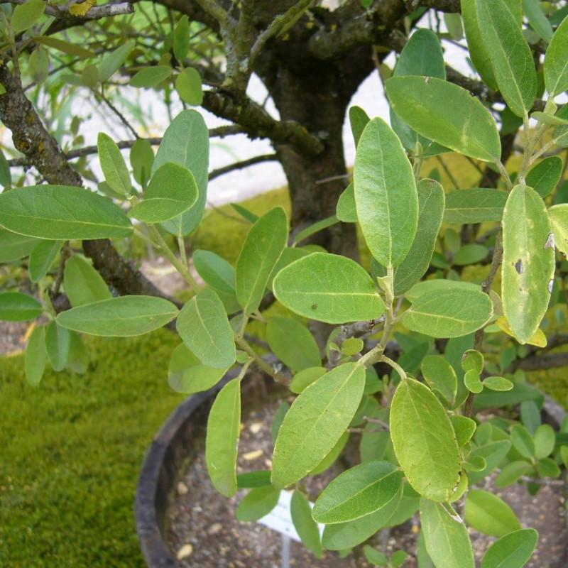 Lagunaria patersonii de JFKCom, CC BY-SA 3.0, via Wikimedia Commons