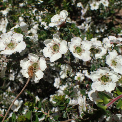 Leptospermum rotundifolium de Krzysztof Ziarnek, Kenraiz, CC BY-SA 4.0, via Wikimedia Commons (2)