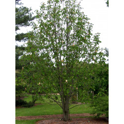 Magnolia officinalis de Bruce Marlin, CC BY-SA 3.0, via Wikimedia Commons