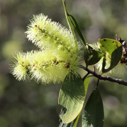 Melaleuca viridiflora de Summerdrought, CC BY-SA 4.0, via Wikimedia Commons